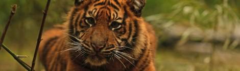 Sumatraanse tijgers geboren